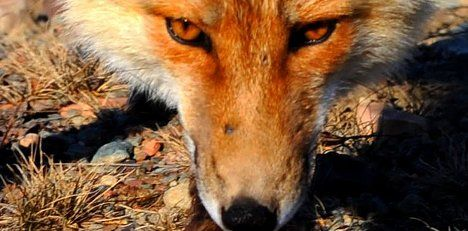 Fox attacks 3-year old Swiss girl in bed