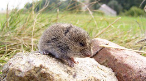 Rodents make vole hills out of Swiss mountains