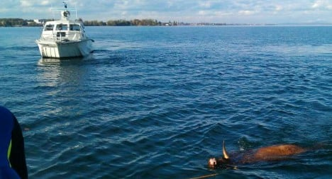 Bolting cows plunge into Lake Constance