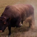 Woman killed in Basel bull attack
