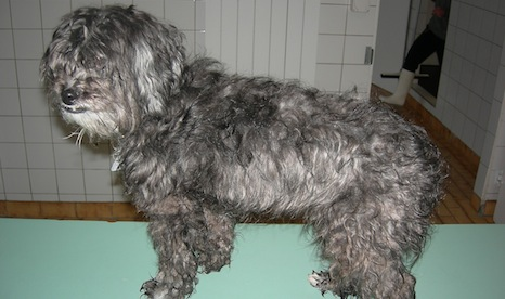 Discarded poodle saved from dumpster death