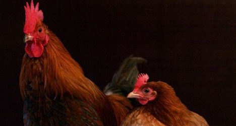 Chickens continue to rule roost numberwise