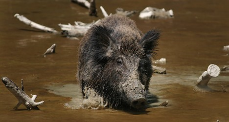 Night vision guns pushed for culling Swiss boar