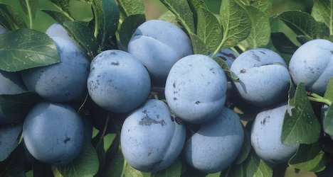 Swiss fruit growers defy dodgy spring weather