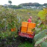 Grapes are carted back to the house for pressing.Photo: Caroline Bishop