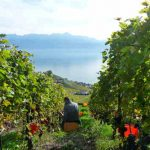 Lavaux produces 20 percent red wine, mostly Pinot Noir.Photo: Caroline Bishop