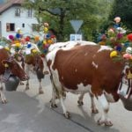 The 'lead' cows wear a headdress made from a fir tree branch, with colourful flowers.Photo: Caroline Bishop