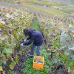 The gradient of the slopes in Lavaux means grapes must be harvested by hand.Photo: Caroline Bishop