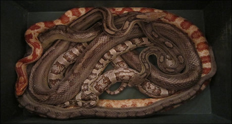 Snakes found dumped in garbage pile