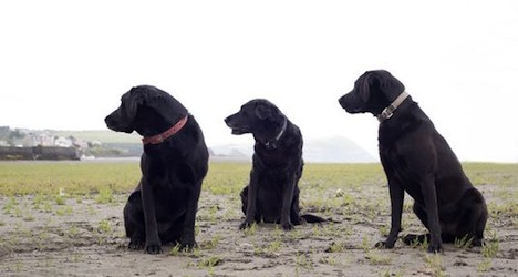 Labradors remain top dogs in Switzerland