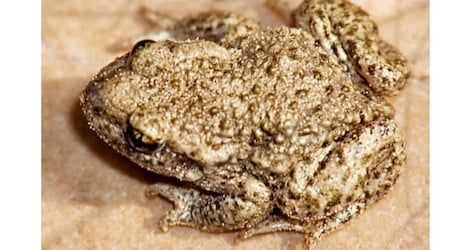 Tunnel construction forces toads to move on