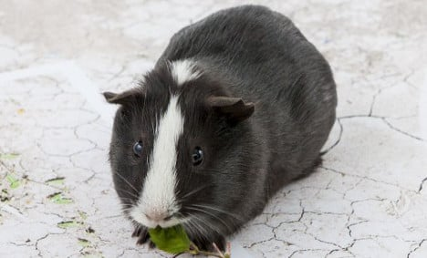 Guinea pig predicts win for Swiss over France