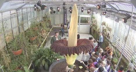 'Giant's penis' bloom in Basel bigger than ever