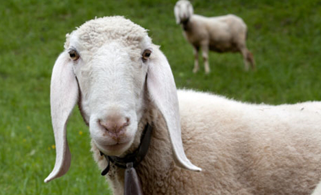 Rare Valais sheep feared stolen for meat sale