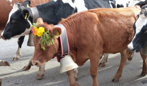 Study sounds warning alarm for Swiss cow bells