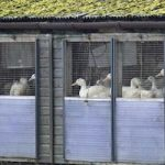 New bird flu expected to spread in Europe: WHO