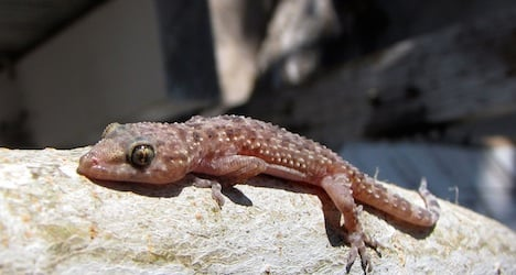 Gecko found in chard bought at Aargau store