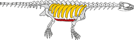 A diagram showing how the ribs have not developed into a shell. Photo: DPA
