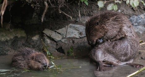 Newborn beavers face being killed by dogs
