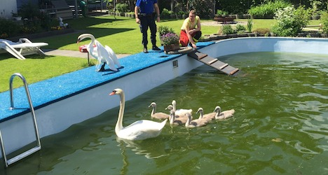 Fire fighters rescue swan family trapped in pool
