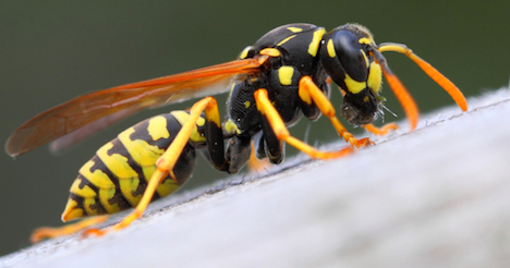 Wasps thrive as hot weather continues