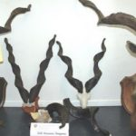 Rare wild goat trophies seized at Basel border