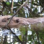Government rejects plea for beaver damage compensation