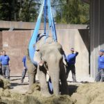Zurich firemen use crane to haul old elephant to her feet