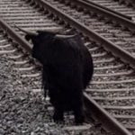 Cows lure bull away from railway line in Chur