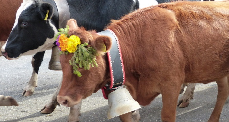 Farmer loses appeal in row over noisy cow bells
