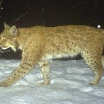 Lynx hurdles electric fence to escape Swiss animal park