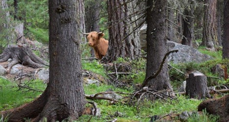 Escaped Swiss cow loses holiday rights