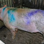Lucerne vandals break into barn and spray-paint pig