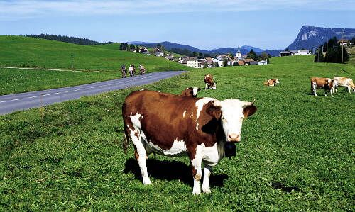 Study: grazing cows are worse for the environment