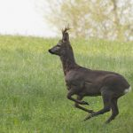 Aggressive deer put down after attacking four in Geneva
