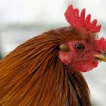 Court sides with chickens in dispute over noisy henhouse