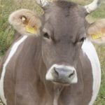 Cow destroyed for attacking Davos hiker