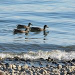 Swiss chickens at risk after bird flu hits Lake Constance