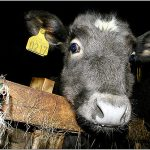 Swiss police hunt person who abused calf