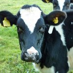Swiss trainee vets to give cows acupuncture in new classes