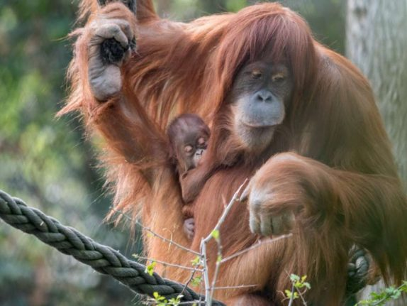 Paternity test ordered for baby orangutan