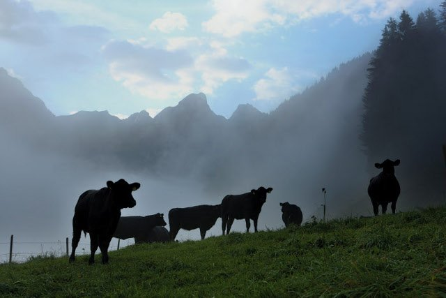 Swiss farmers left puzzled after cows throw themselves off cliff