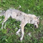 Dead wolf in Fribourg may be victim of serial animal killer