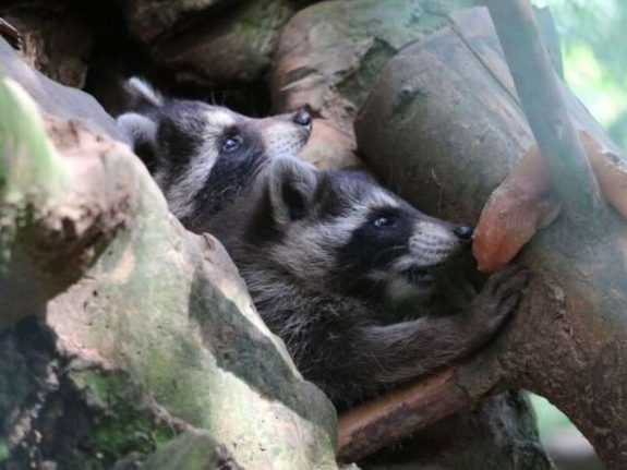 Raccoon births take zoo by surprise