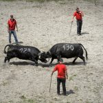 Swiss cows miss out again on crown of 'Queen of Mont Blanc' in annual duel