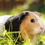 14 guinea pigs found abandoned at recycling centre