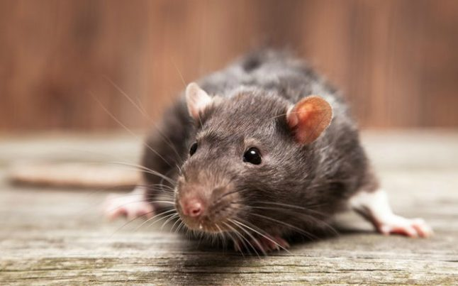 Geneva residents up in arms over rat-infested building