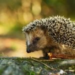 Robot lawnmowers a threat to Swiss hedgehogs