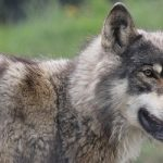 Wolves at the door: animal spotted in canton of Zurich