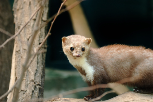 Car-owners warned to beware of cable-chewing martens
